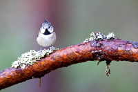 Crested Tit-6
