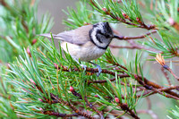Crested Tit-7