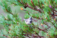 Crested Tit-8