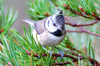Crested Tit-9