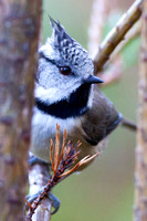 Crested Tit-11