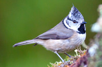 Crested Tit-12