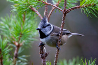 Crested Tit-13