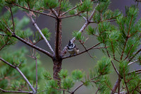 Crested Tit-15