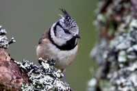 Crested Tit-17