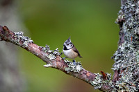 Crested Tit-20