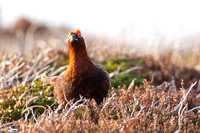 Red Grouse-2