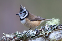 Crested Tit-1