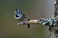 Crested Tit-3