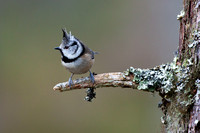 Crested Tit-4