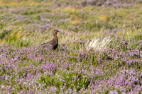 Red Grouse-17