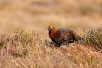 Red Grouse-4