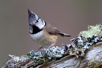 Crested Tit-2
