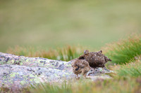 Red Grouse-12